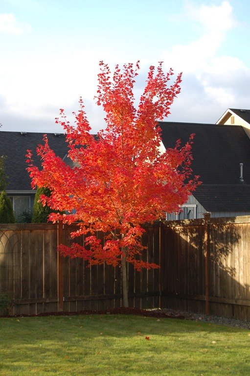 Maple Tree 001