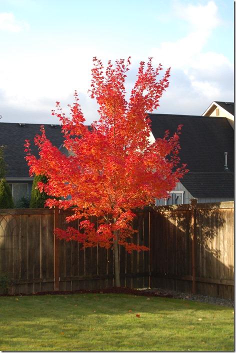 Maple Tree 001